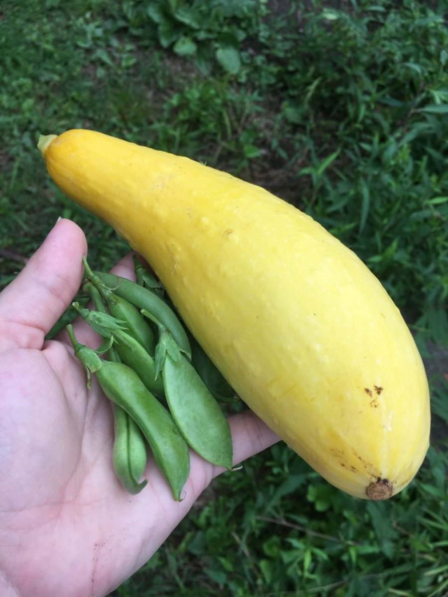Here's a normal squash for comparison.