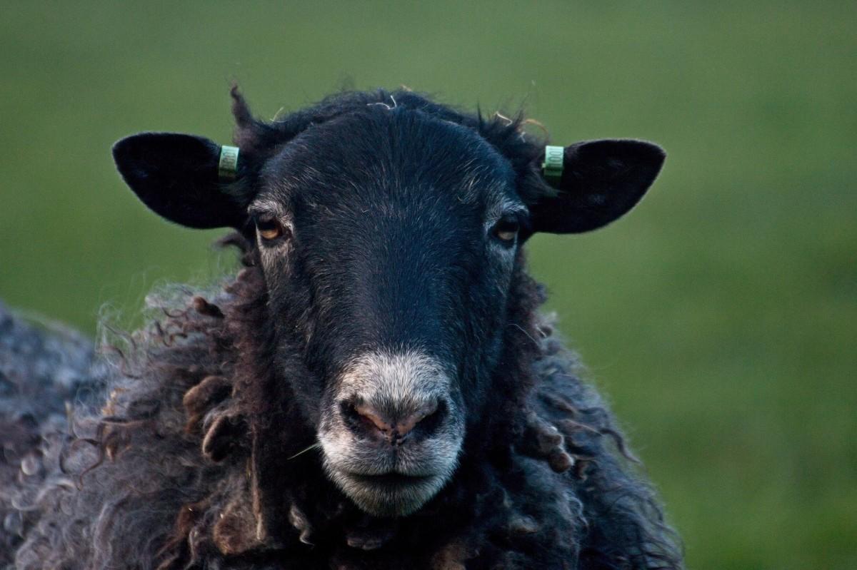 """La pecora nera"" translates to ""the black sheep."""