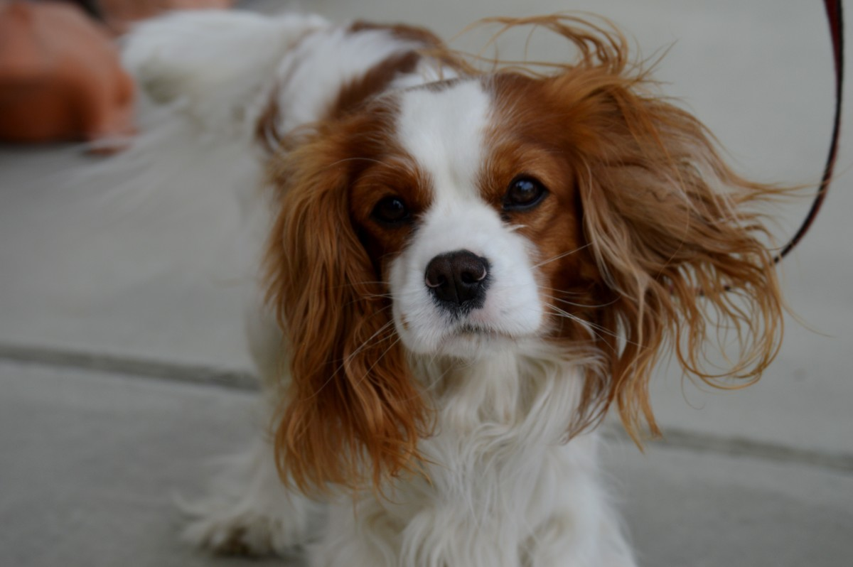 Breeds such as Cavalier King Charles Spaniels and Greyhounds are thought to be more prone to strokes