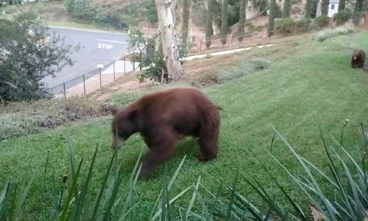 This black bear, roaming through the neighborhood of Arcadia, is actually a cinnamon color, rather than black. She's being followed by two cubs.