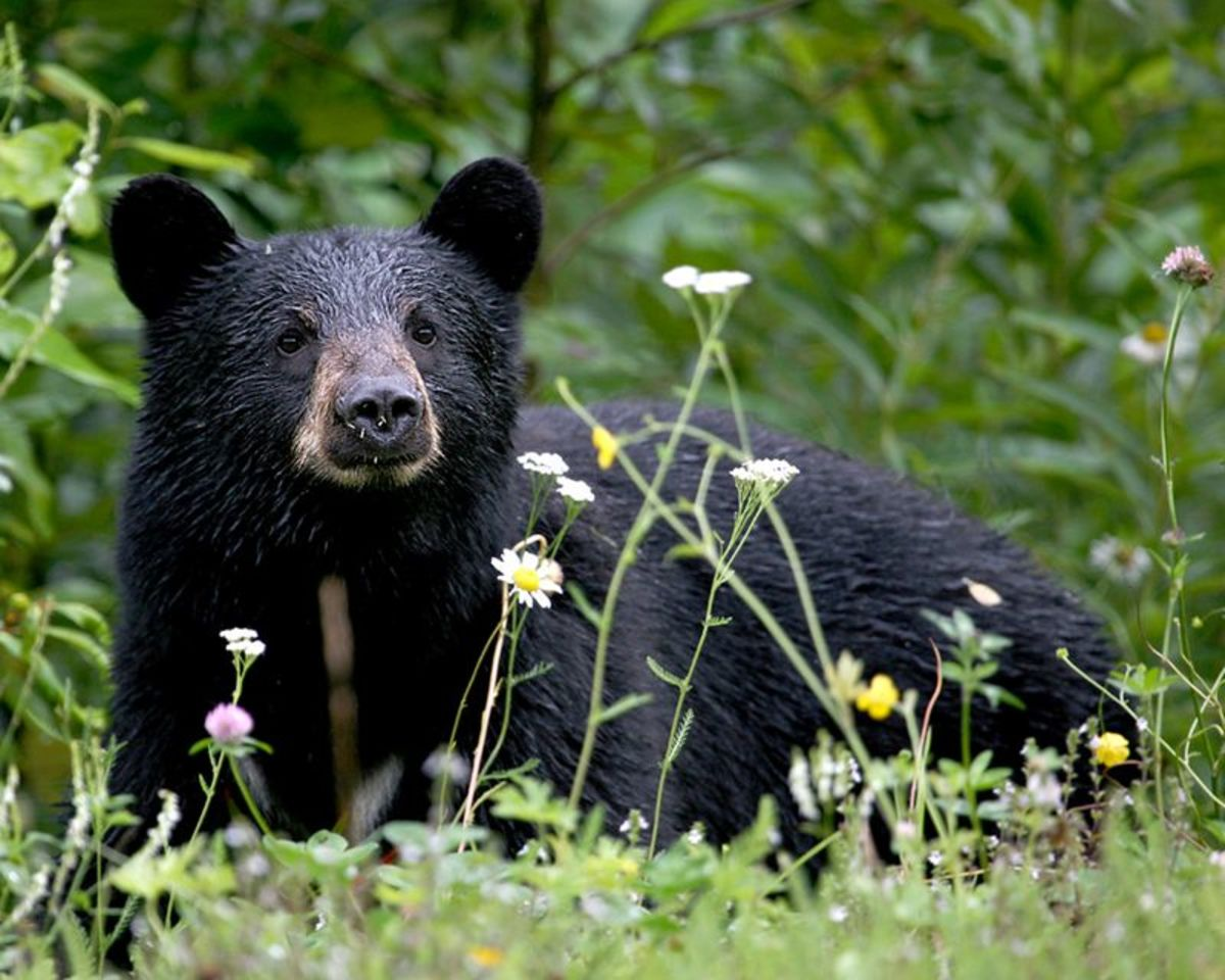 Twenty-seven black bears were brought to the San Gabriel Mountains from Yosemite National Park in 1933.