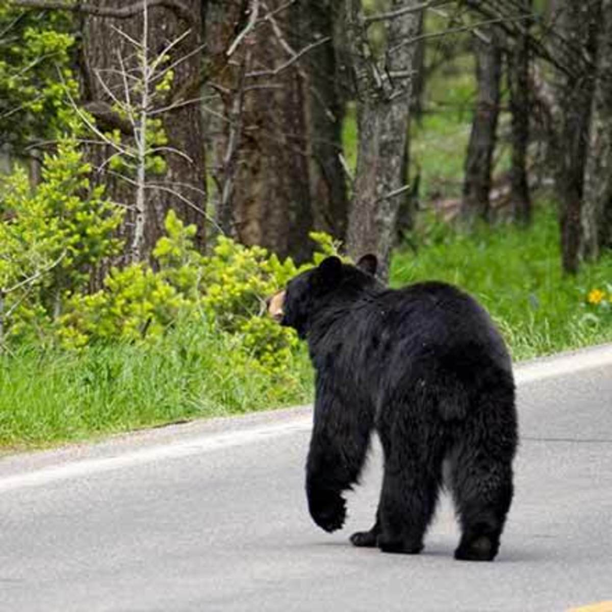 Black bears are often seen ambling alongside or across mountain roads.