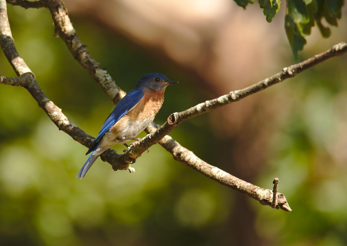 bluebirds-in-the-backyard