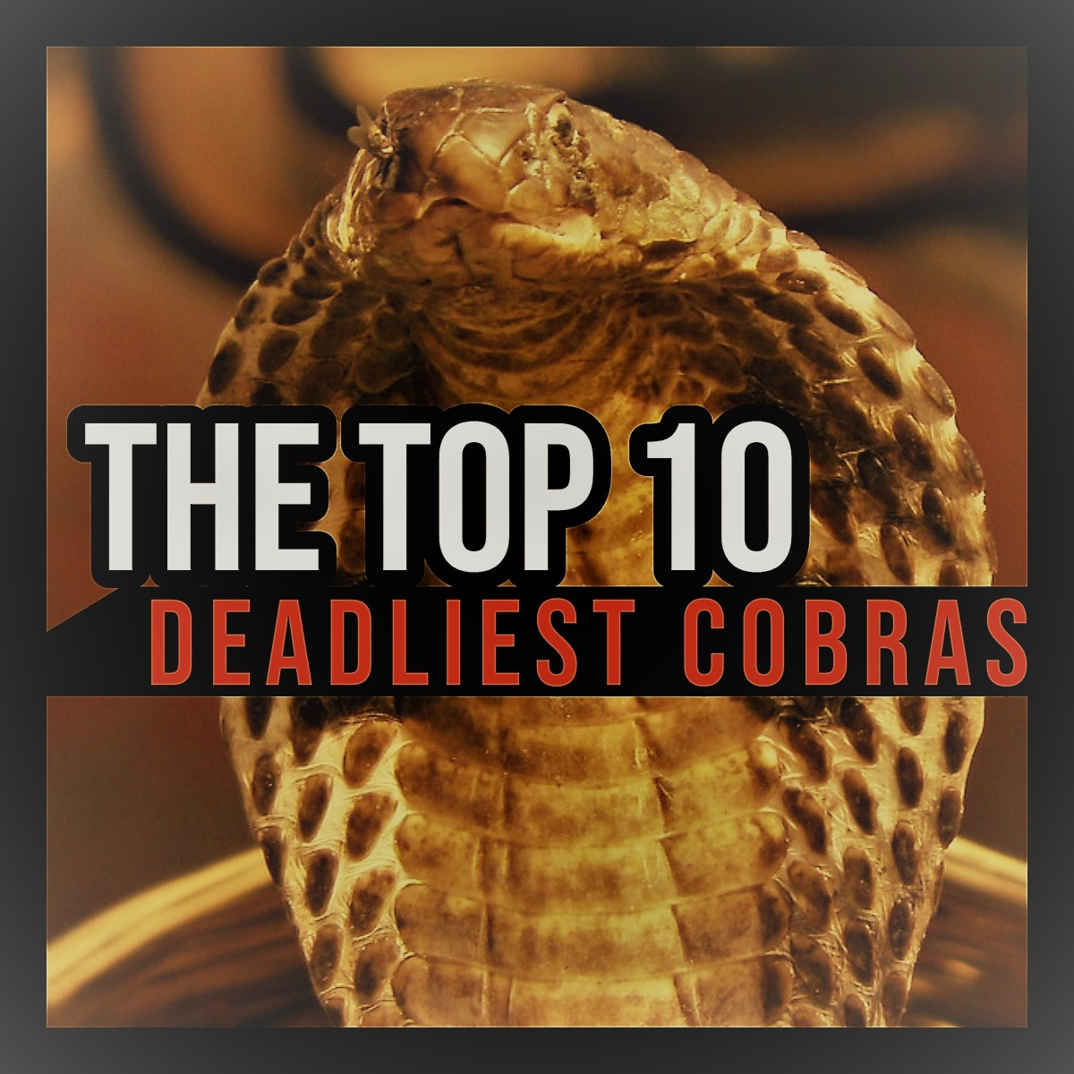 The Top 10 Deadliest Cobras in the World.