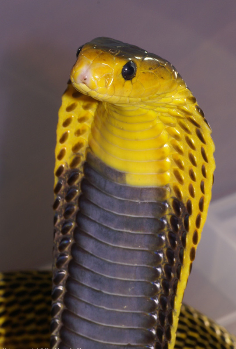The deadly samar cobra.  Notice the snake's unique yellow and black coloration.