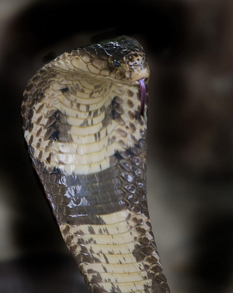 The monocled cobra.