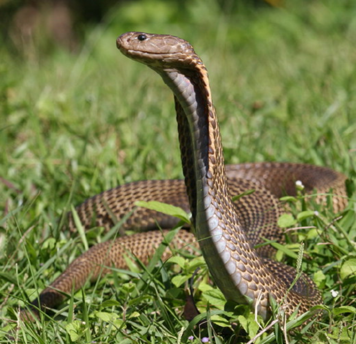 The Philippine cobra (world's deadliest species of cobra).