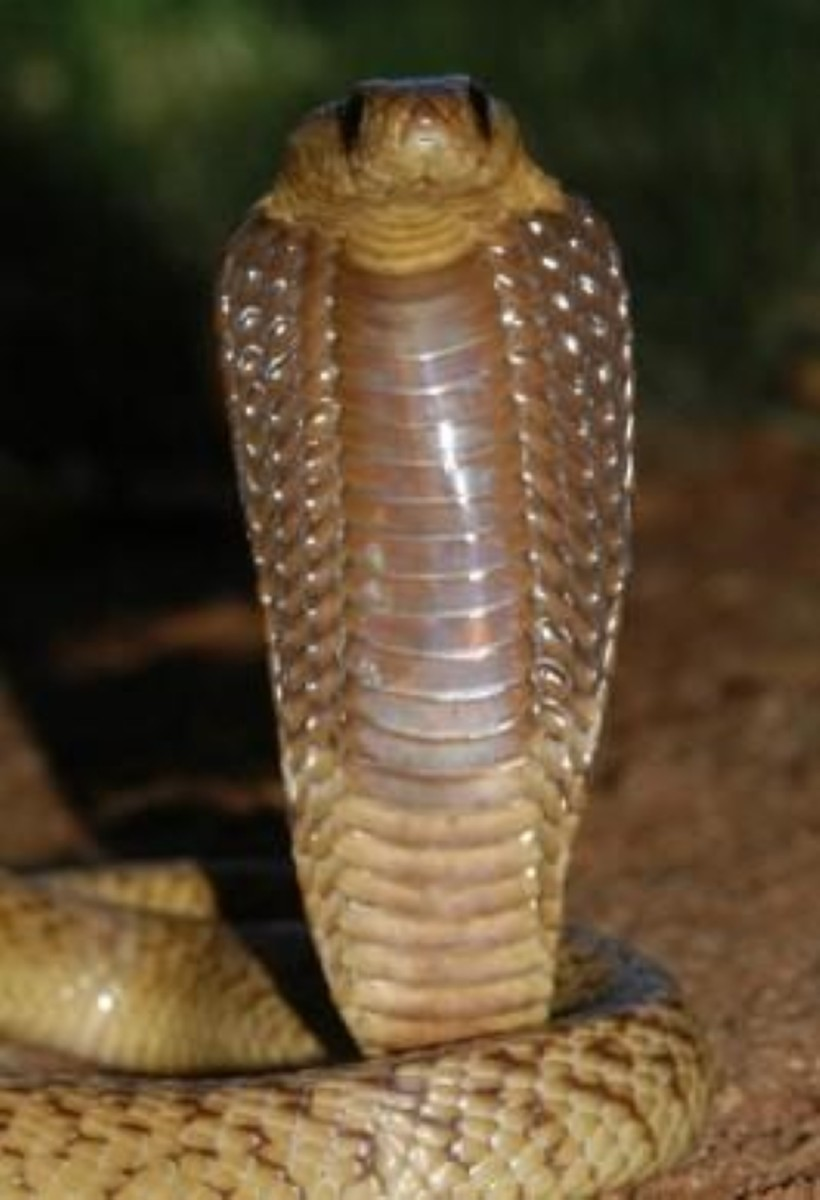 The cape cobra.