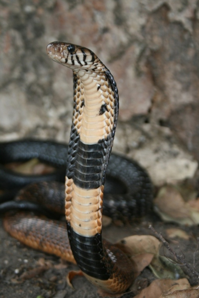 The deadly forest cobra.