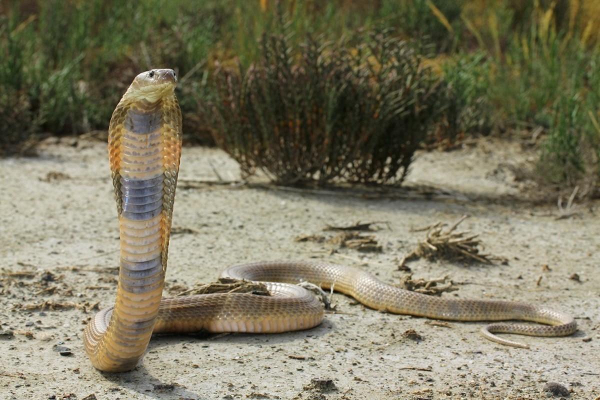 A deadly Caspian cobra in a defensive position.