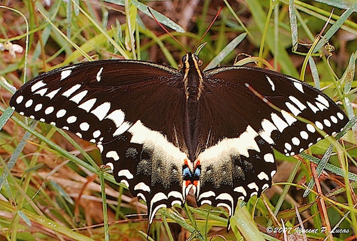 This butterfly is one of the many creatures that have found a home in the Florida Panther National Wildlife Refuge.