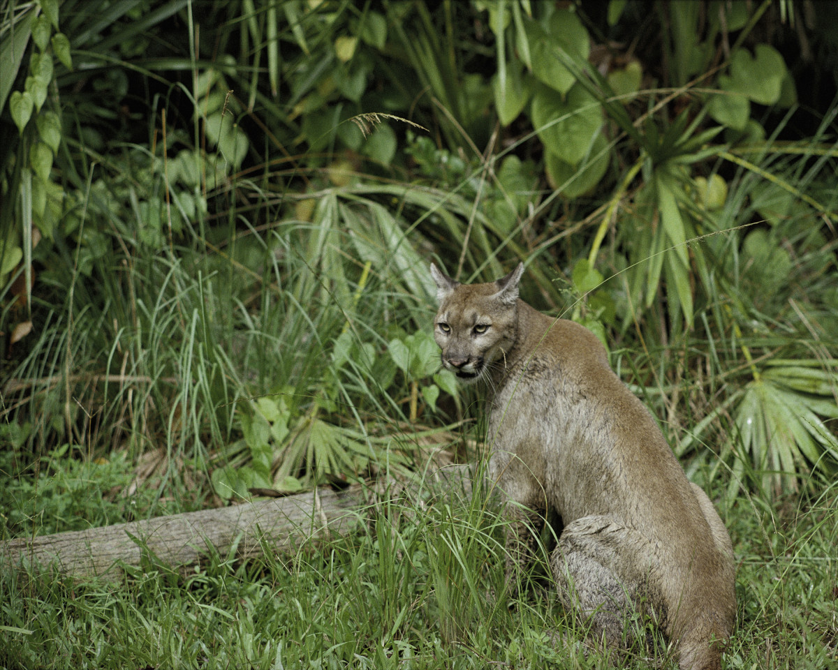 This shows a beautiful section of the National Wildlife Reserve, where a Florida Panther has found a home.