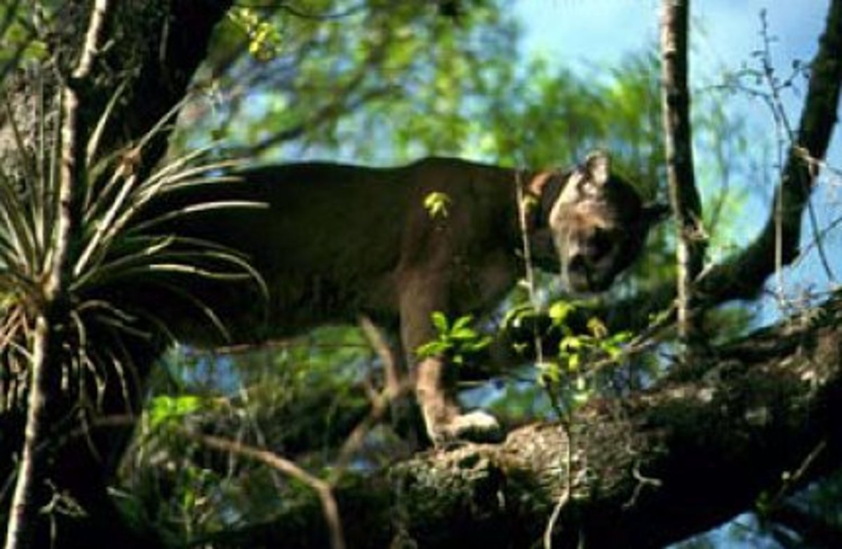 This Florida Panther climbed a tree in the Wildlife Reserve, where he has been able to stay safe from such harms as cars and illegal hunters.