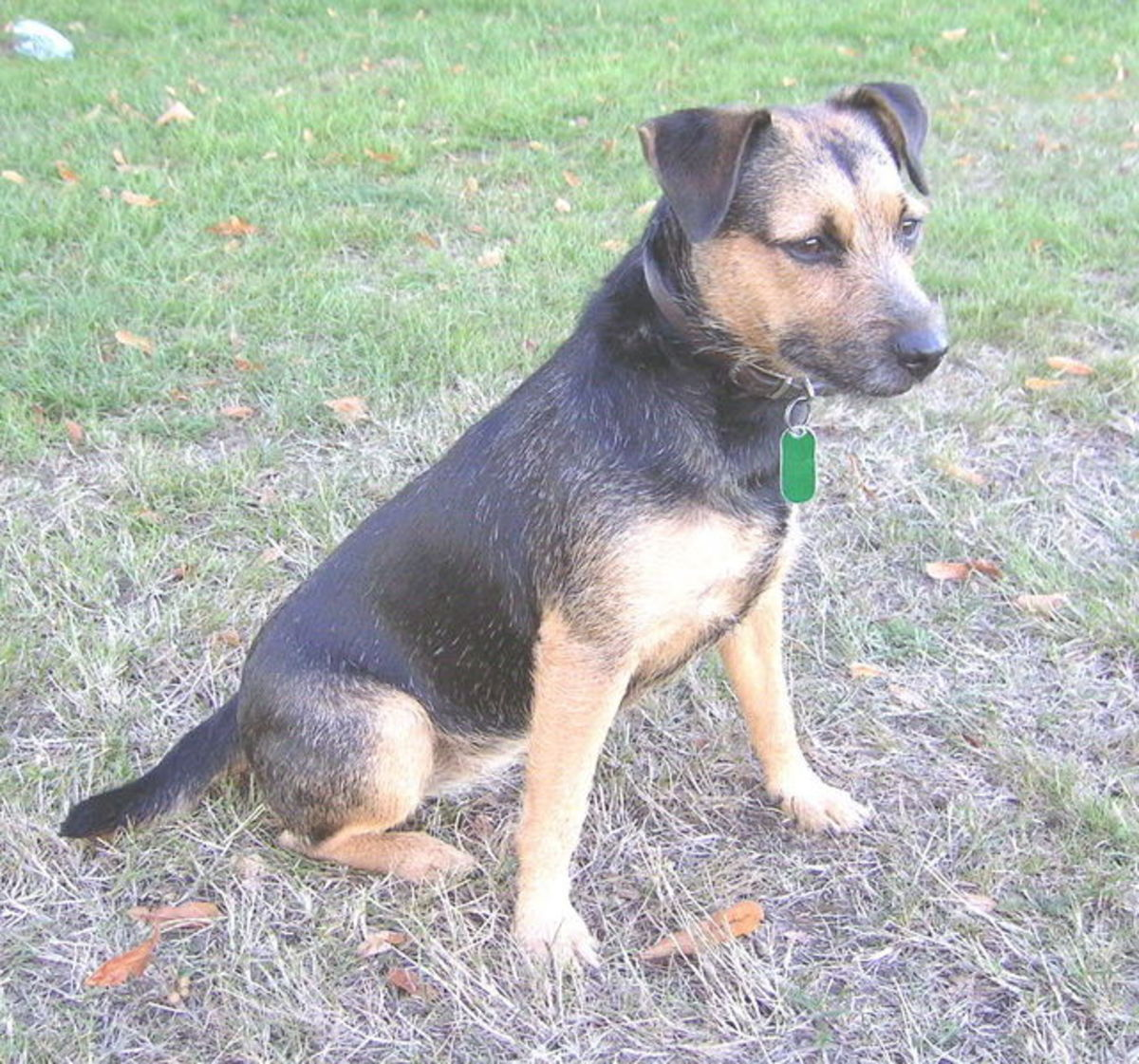Black and Tan Patterdale Terrier