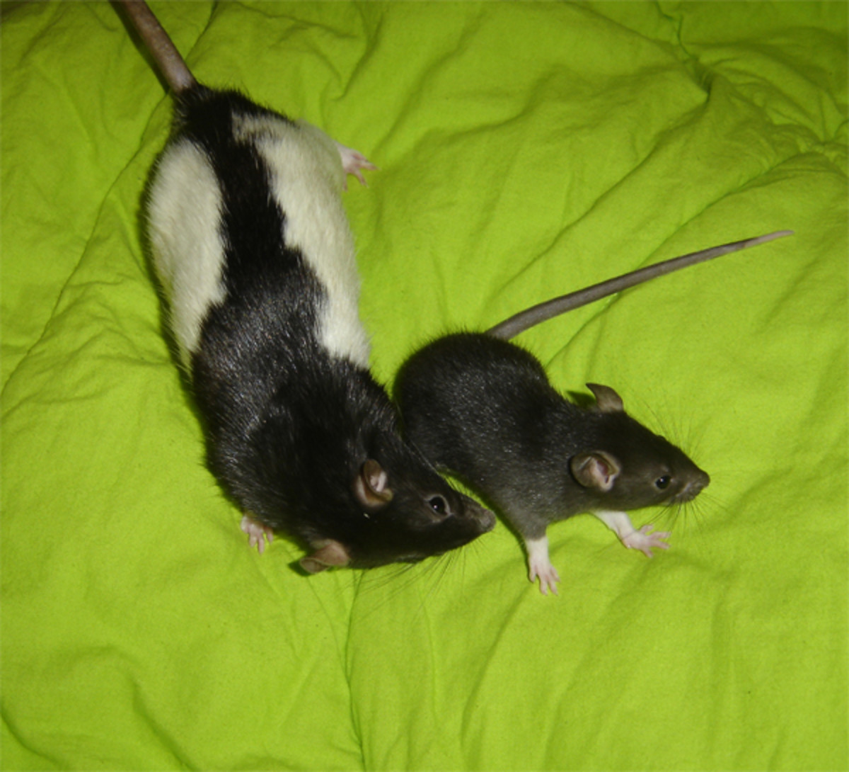Two female rats.