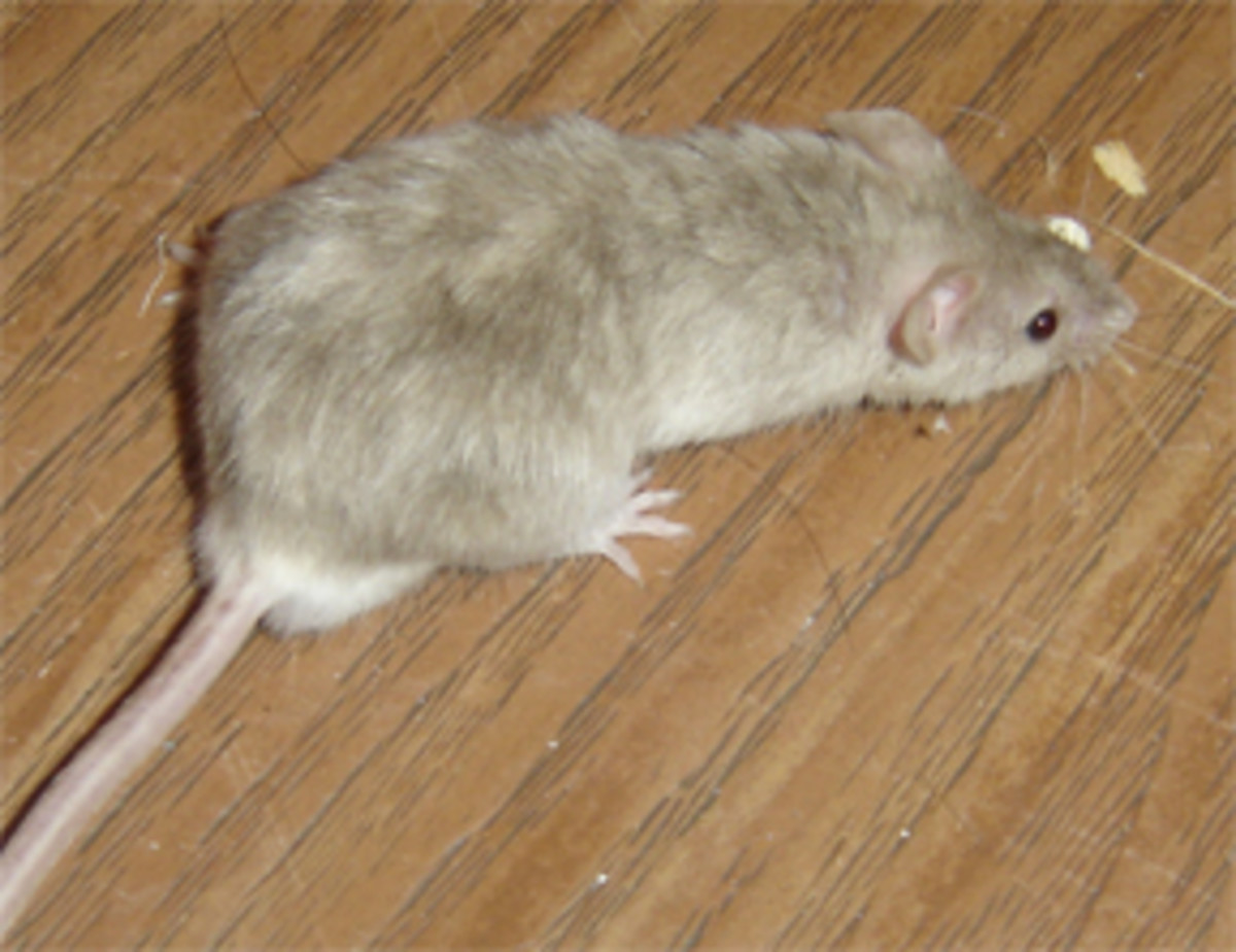 Male mouse.