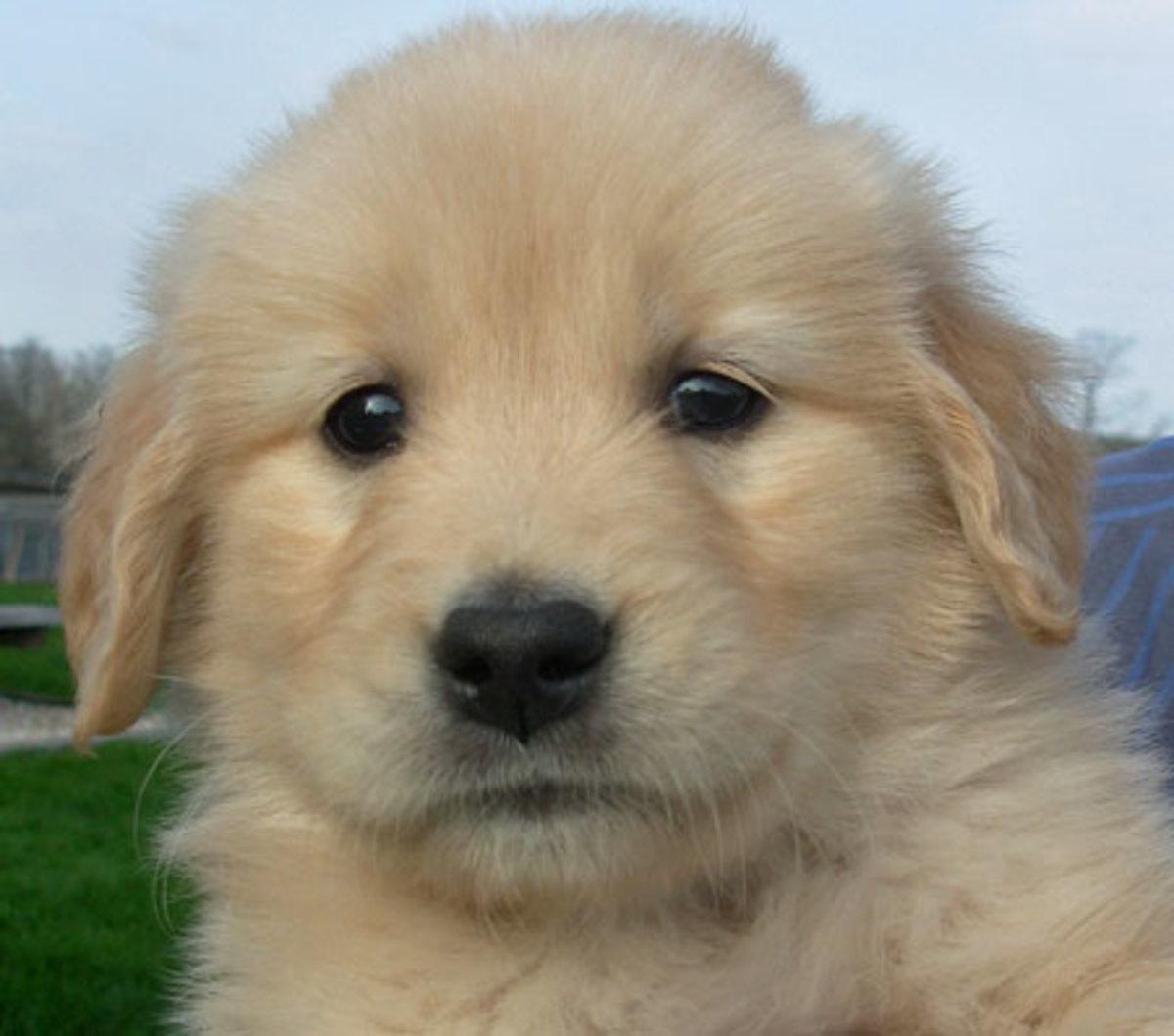 golden retriever mix puppies. Golden Retriever Chow Mix