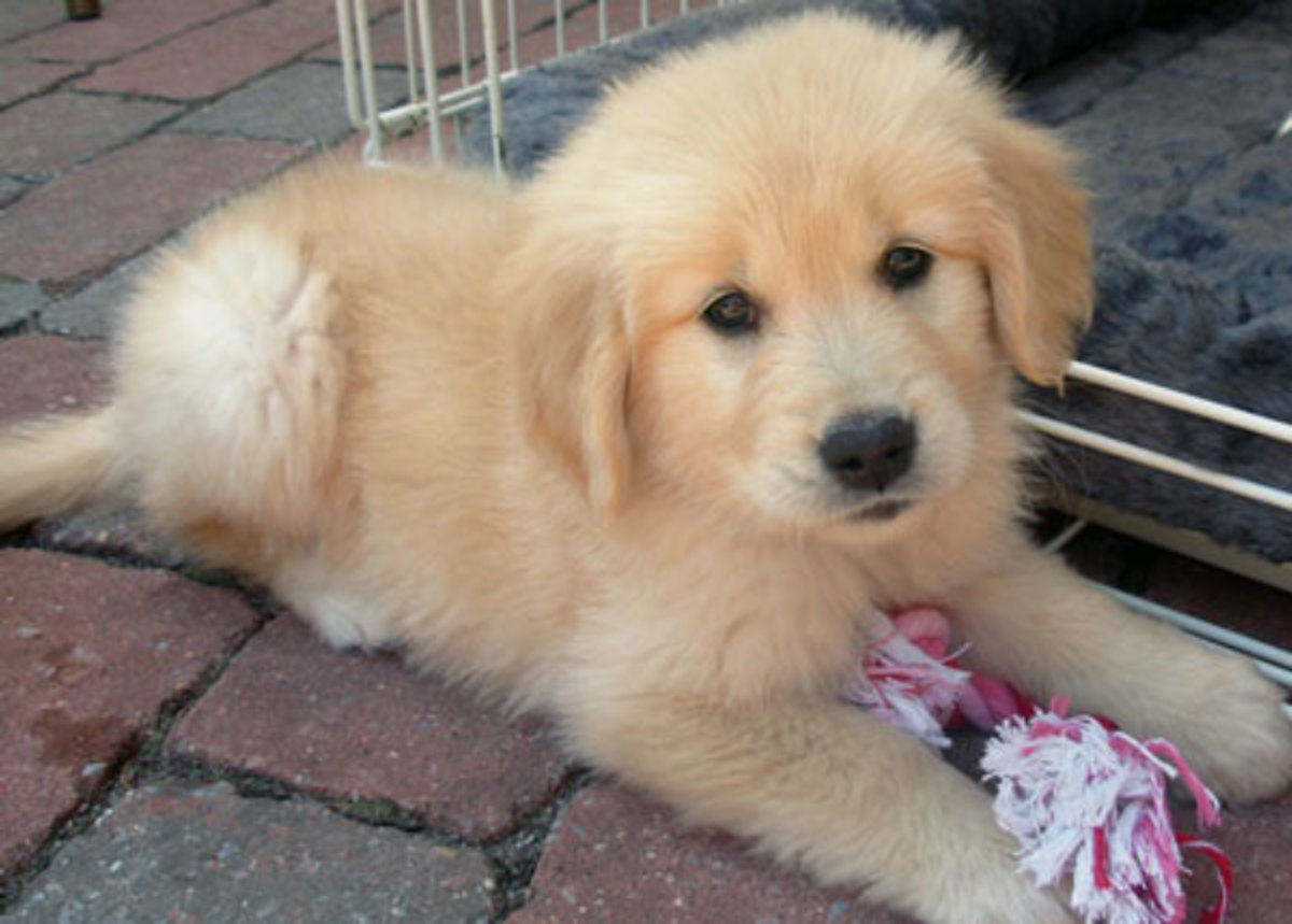 cute golden retriever puppies pictures. Golden Retriever