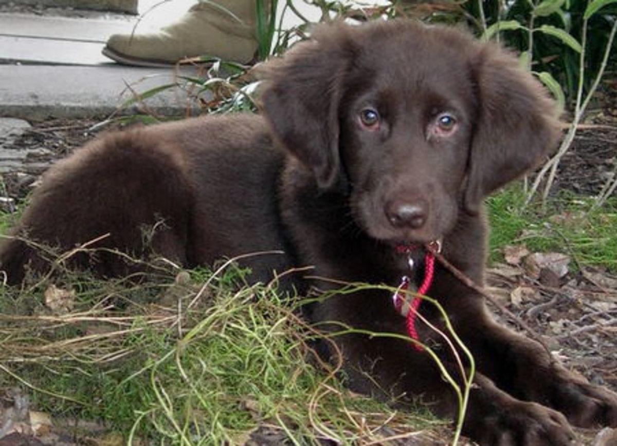 Labrador& Retriever