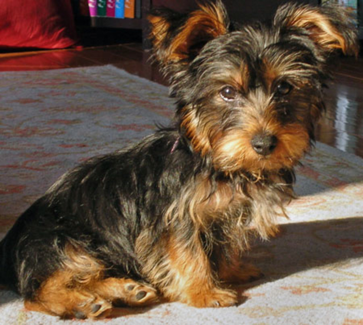 Yorshire Terrier (Yorkie)