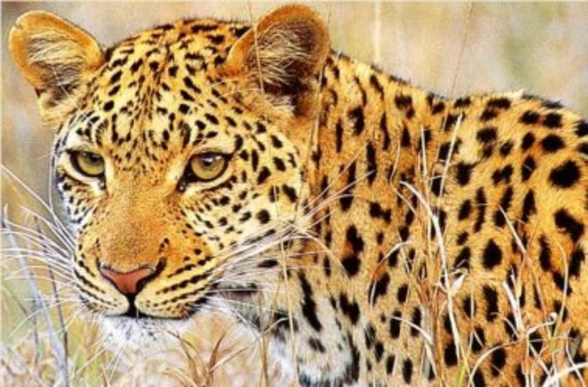 """A Young Leopard"" by Riaan"