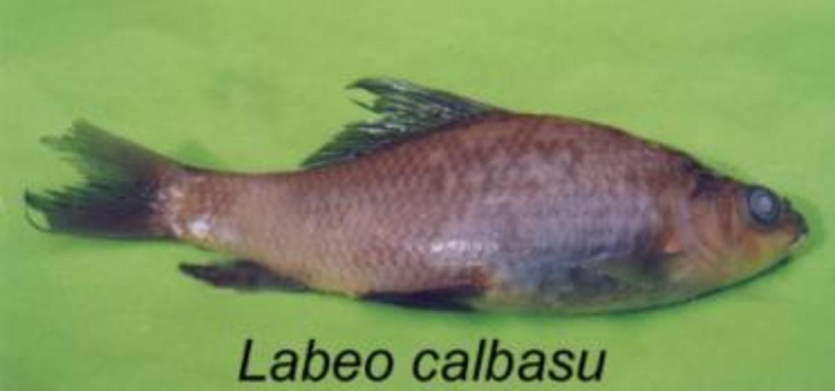 Labeo calbasu