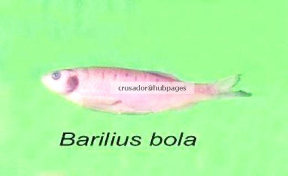 Barilius bola