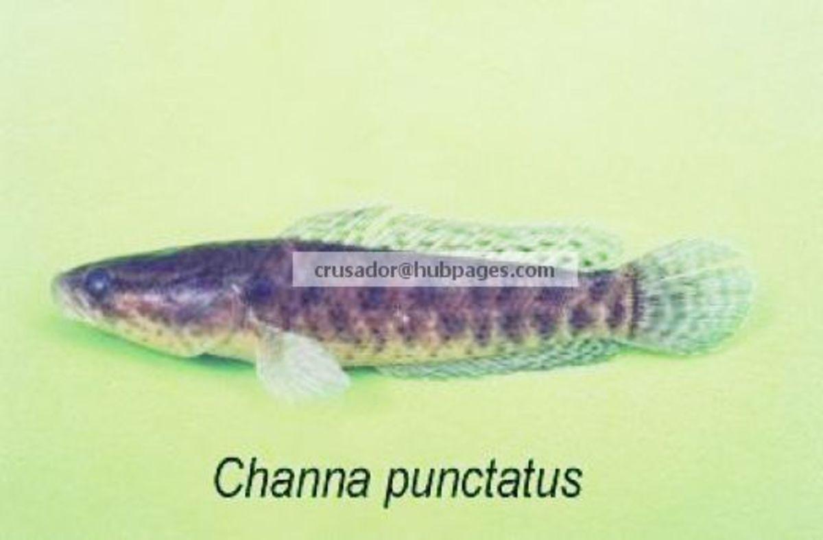 Channa punctatus