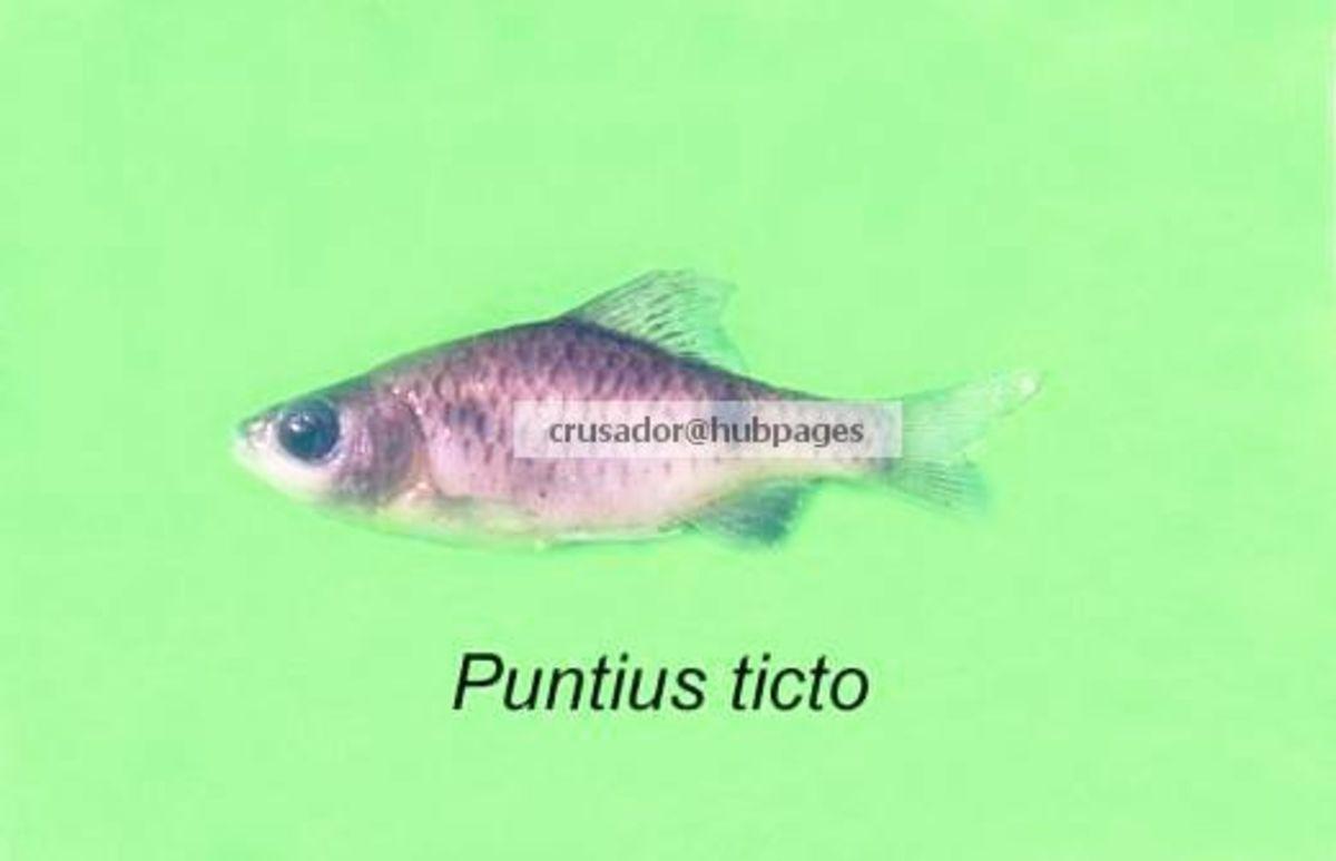Puntius ticto