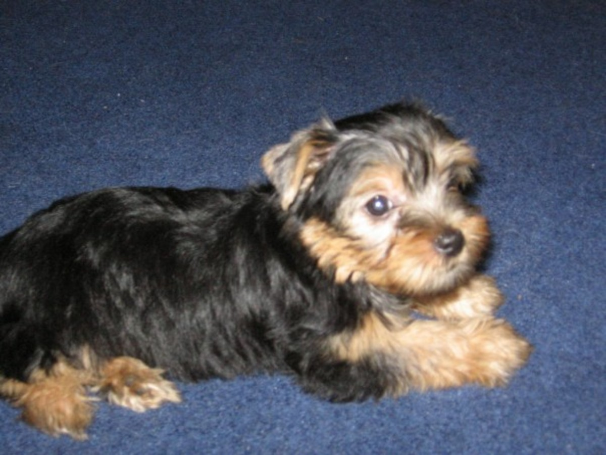 How I Housebroke My 9-Week Old Yorkie in 2 Weeks