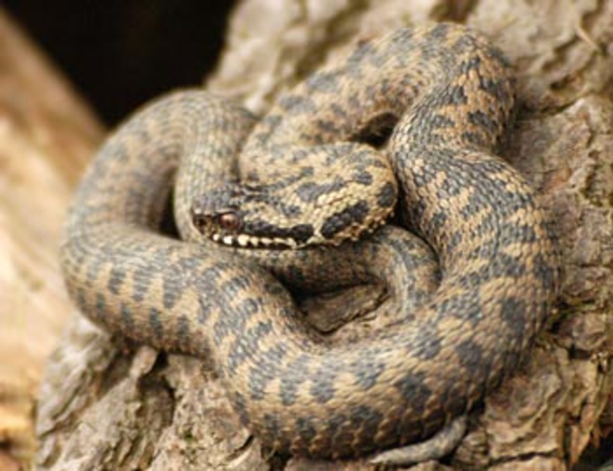 The Viper And Types Of Viper Snakes