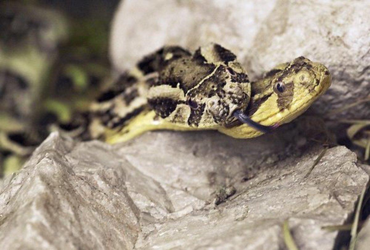 the-viper