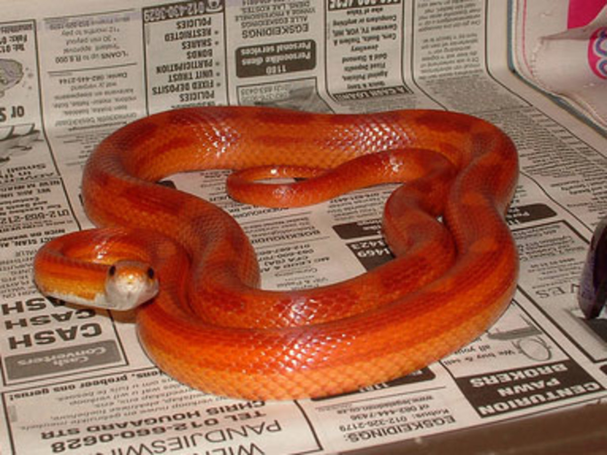 Tips for Breeding Corn Snakes