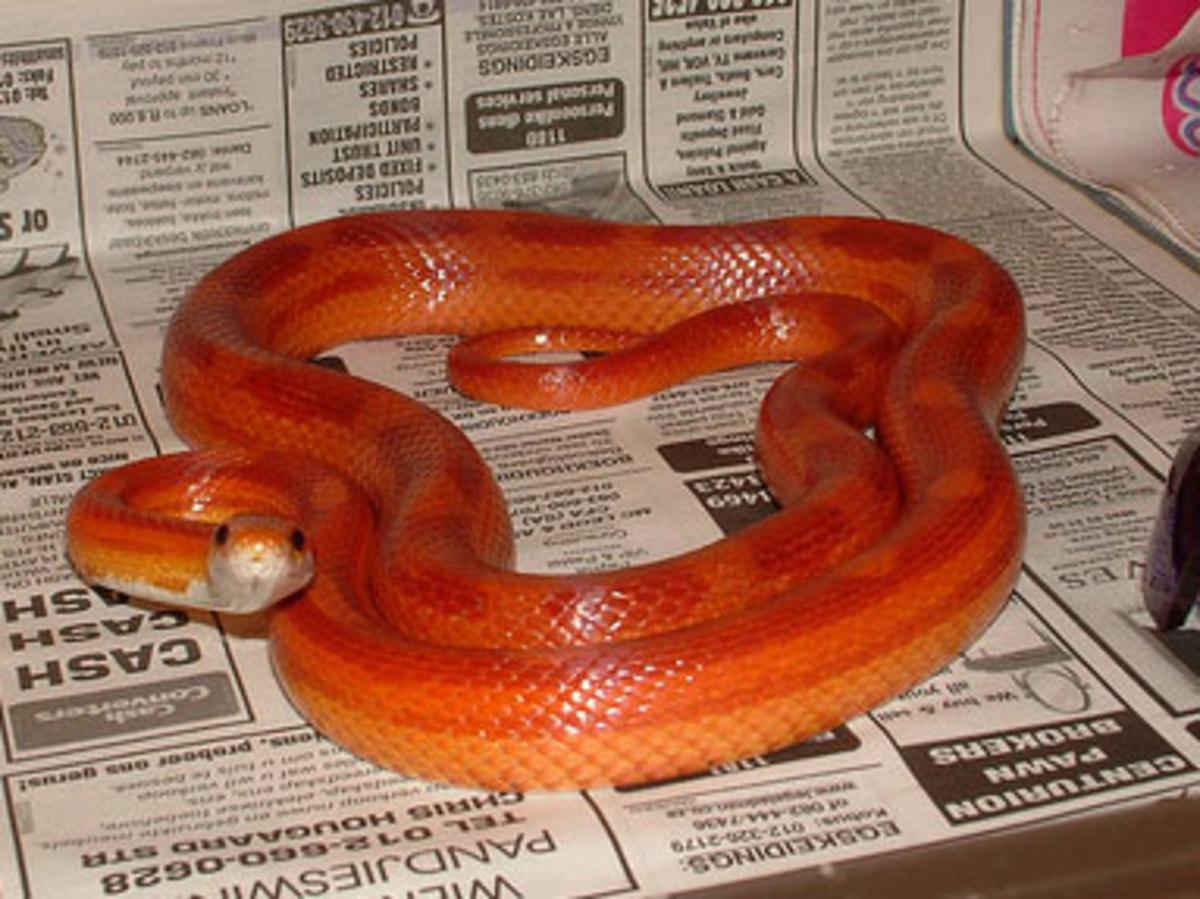 Tips for Breeding Corn Snakes
