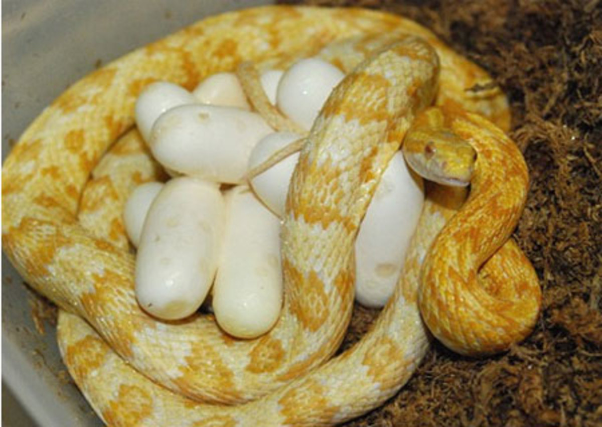 Tips for Breeding Corn Snakes | HubPages