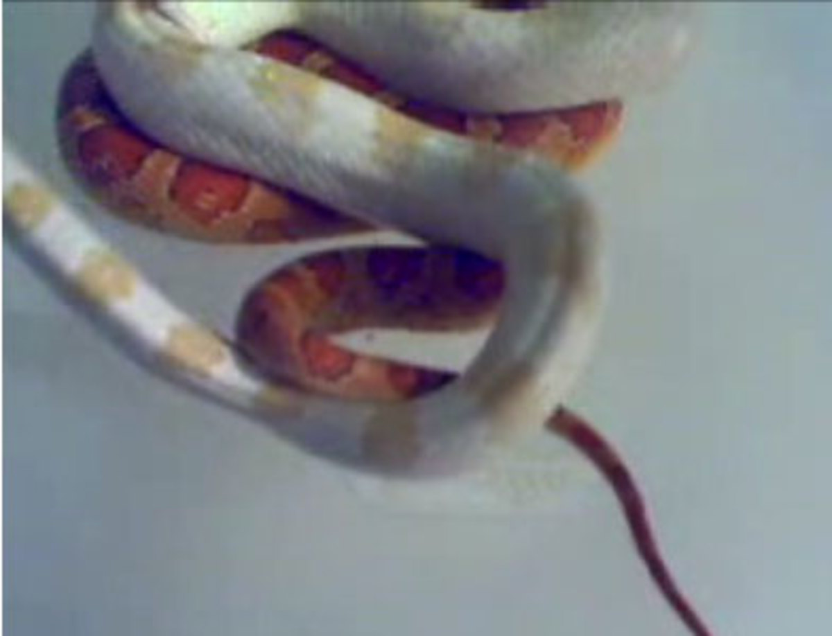 Corn Snake Copulation