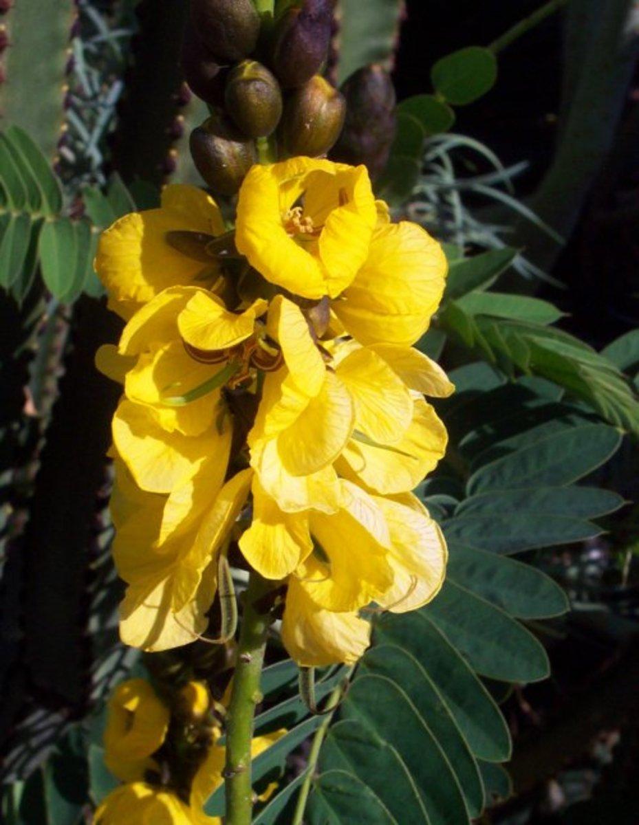 Senna flowers
