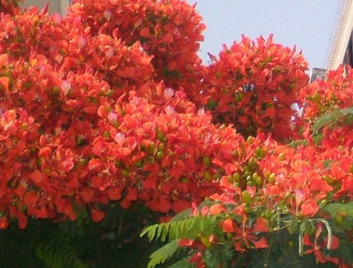 Flaming trees and summertime flowers of Tenerife in the Canary Islands
