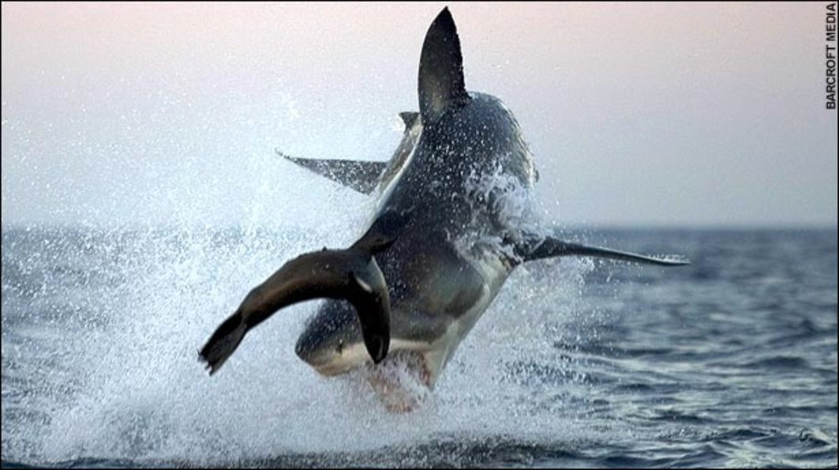 Yea I know, seals are cute but a shark's gotta eat too!