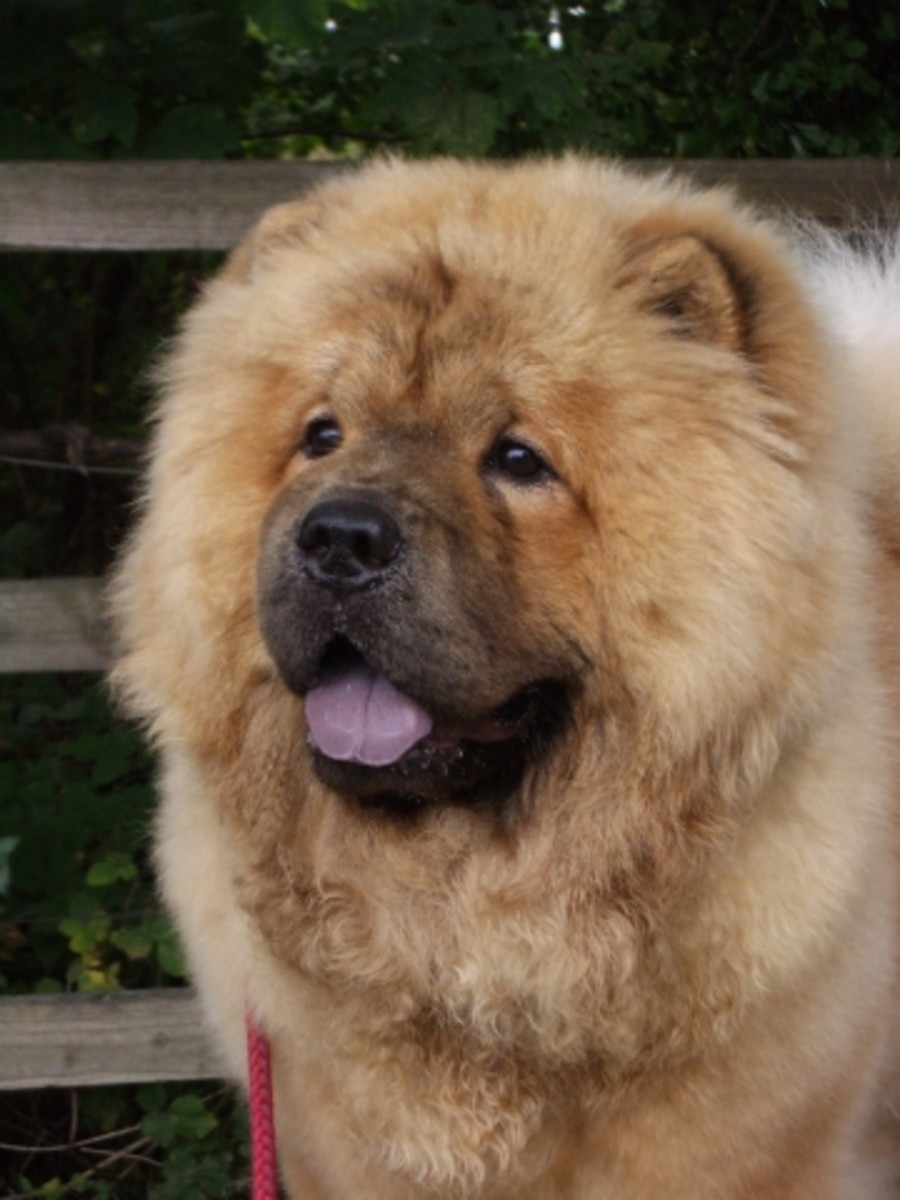 The Origins Of The Chow Chow