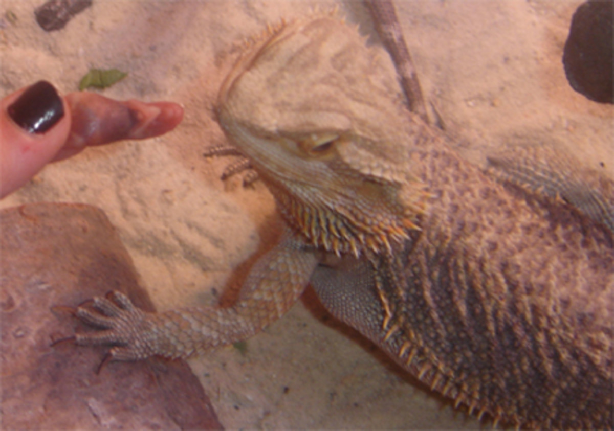 Snakes are the only ones who eat rodents. My bearded dragon eating a thawed pinkie mouse.