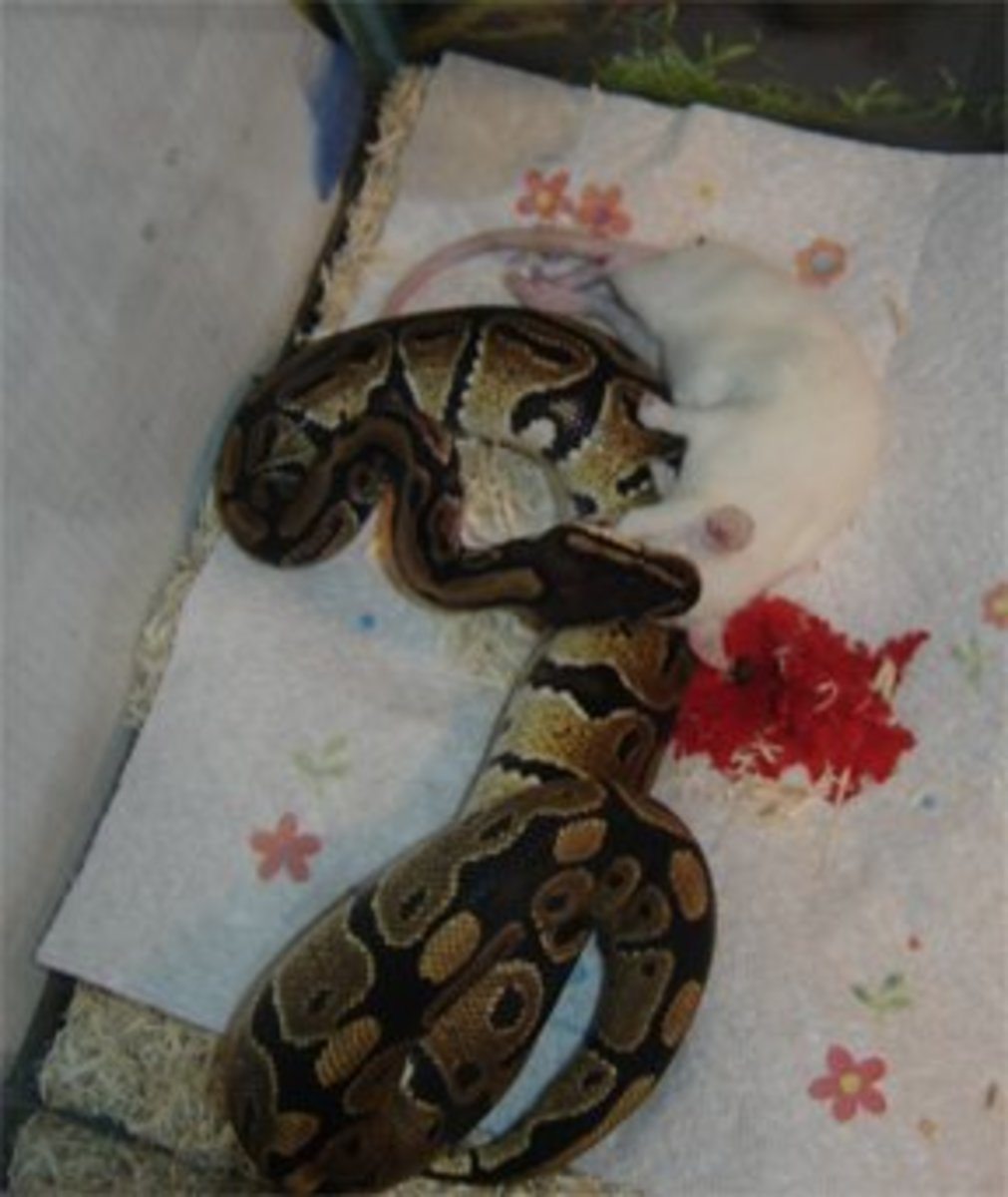 Initial bite was in a back artery, luckily the snake wasn't bit.