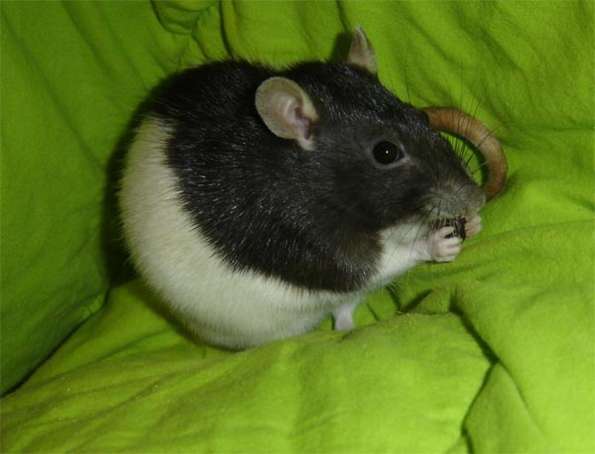 rat_munchies