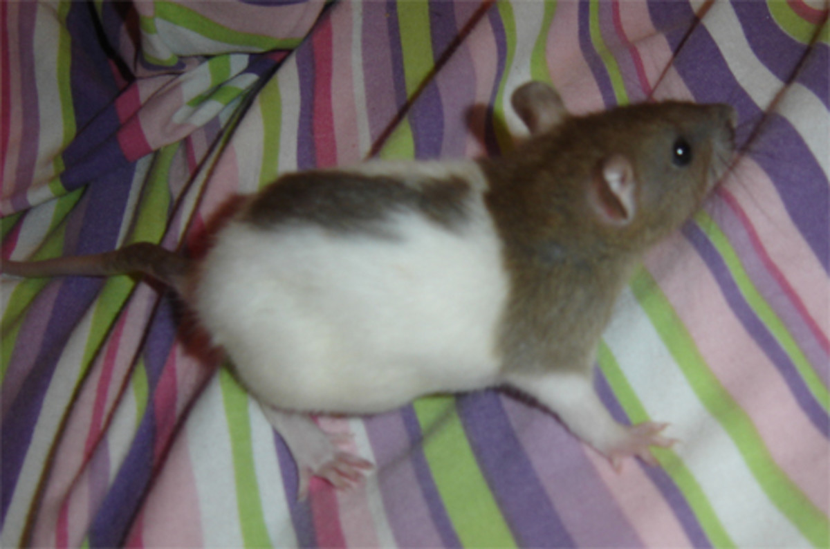 Signs of Illness In Your Rat