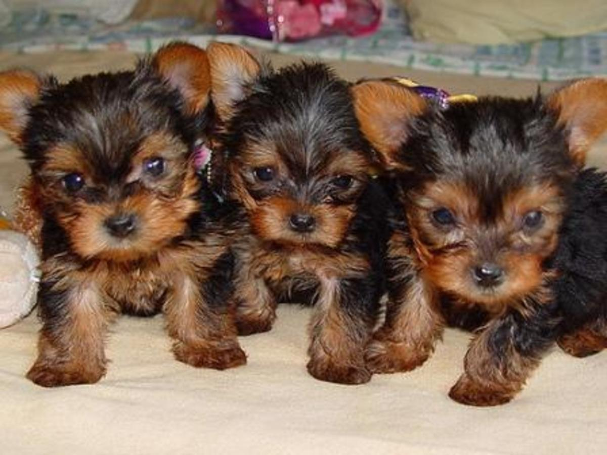Teacup Yorkie - How To Avoid Buying A Sick Dog