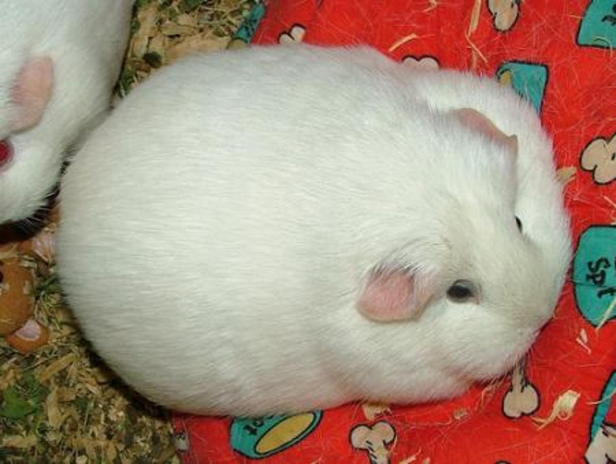 When an animal normally is round, it's hard to tell when they are overweight.