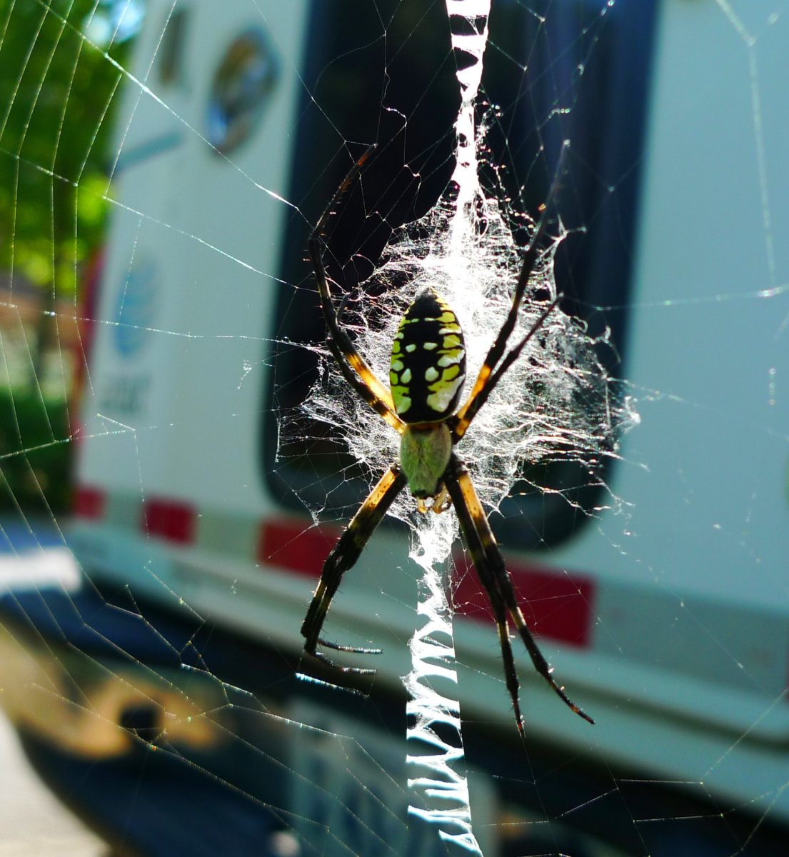 Carolina Writing Spiders are actually Golden Orb Weaver Spiders.