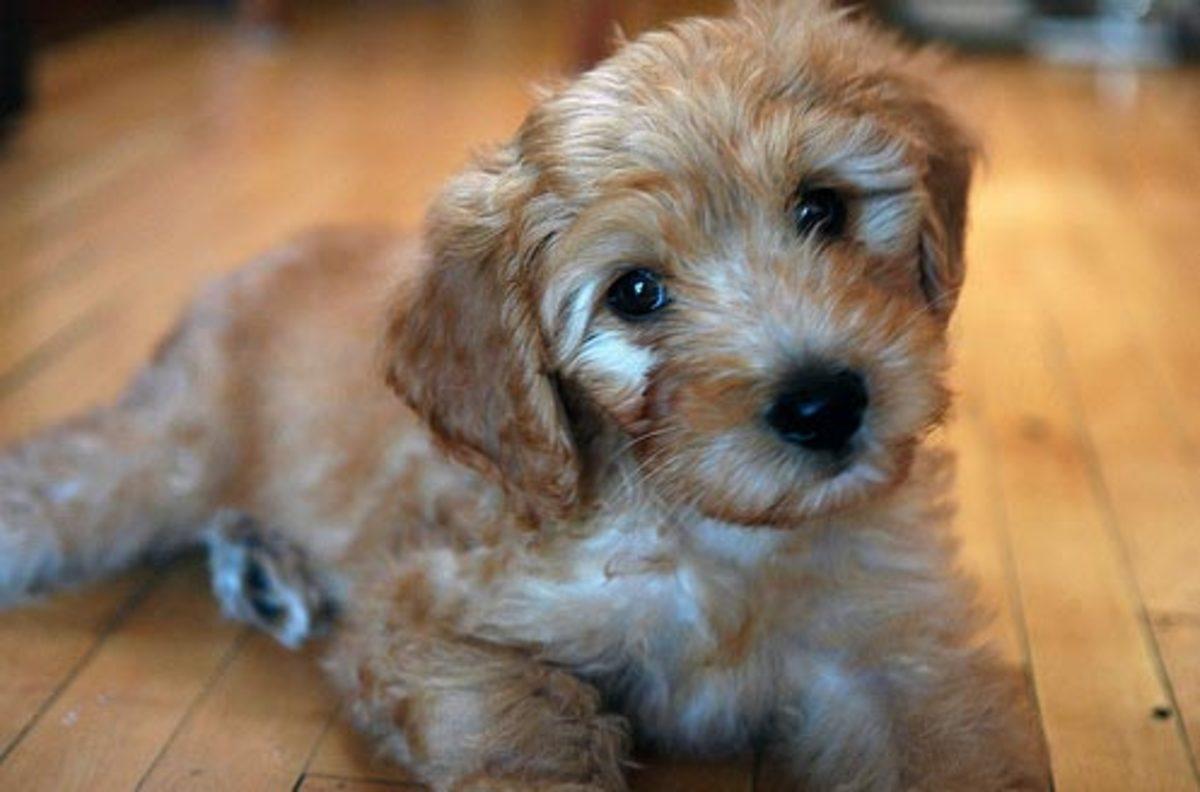 Goldendoodles - Poodle/Golden Retriever Mix | HubPages