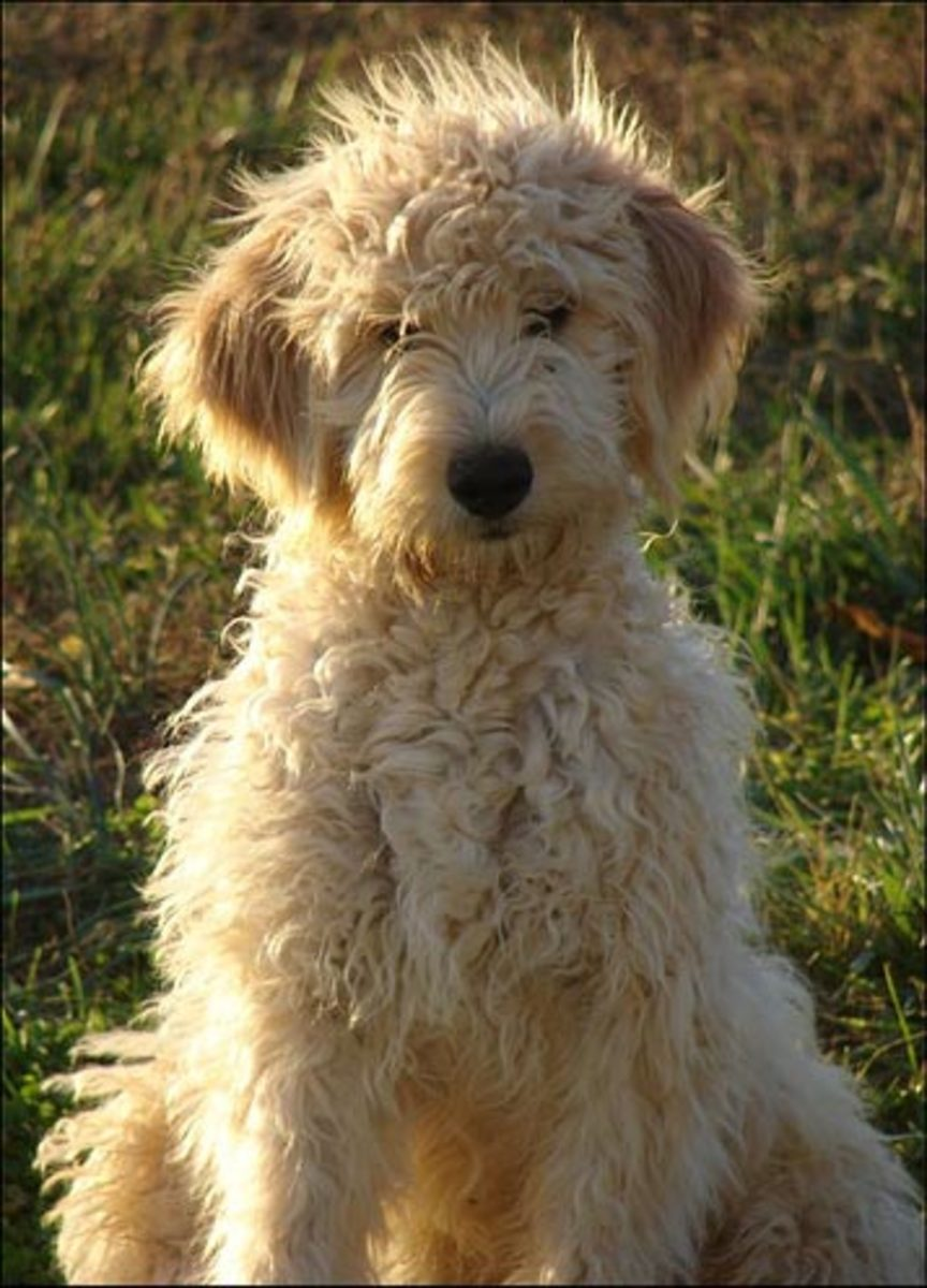 Goldendoodles - Poodle/Golden Retriever Mix