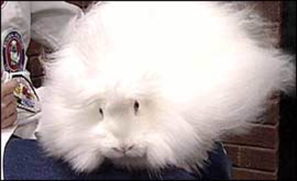Bunny Care Guide: Short Haired Rabbits vs Long Haired Rabbits